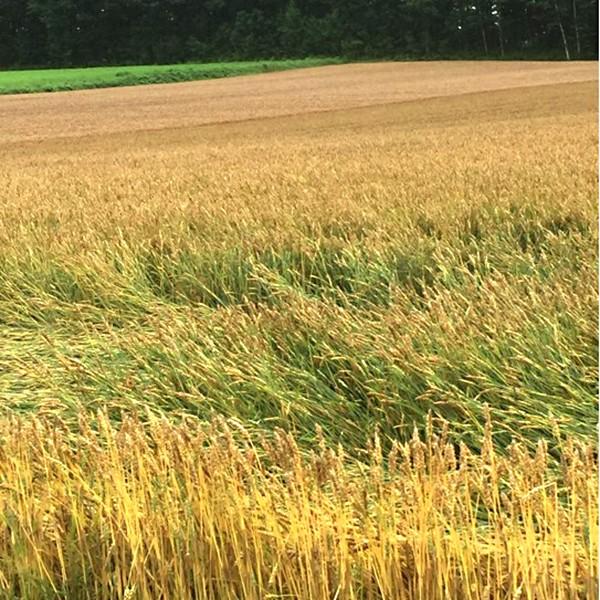 雨と風に倒れてしまった小麦畑