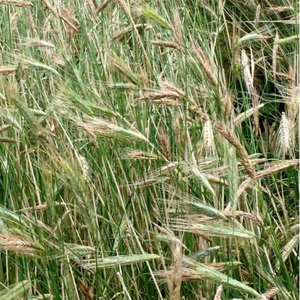 ライ麦の野毛(ノゲ)
